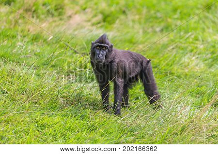 Black celebes crested macaque walking on grass