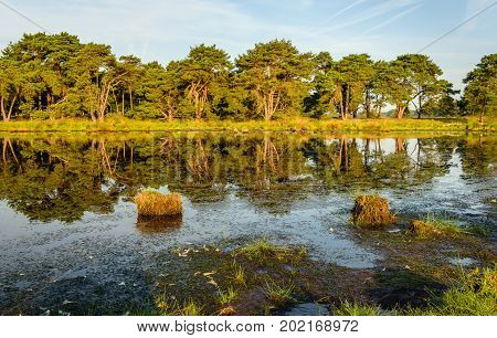 Trees in early morning sunlight reflected in the mirror smooth water surface of a natural pond in a Dutch nature reserve on a sunny day in summertime