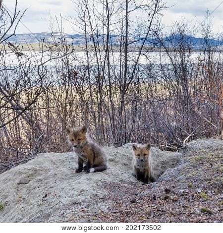 Young Red Fox Puppies At Their Den Yukon Canada