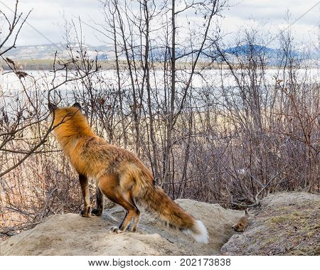 Male Red Fox On The Watch To Protect Den