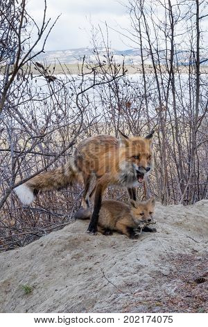 Male Red Fox Feeding Mouse Kill To Young Cub