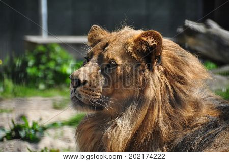 Close up of a lion looking at ease in the sun