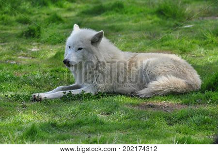 A Hudson Bay wolf at ease in the grass