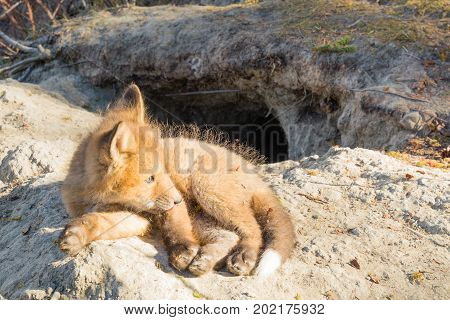 Young Red Fox Puppy Resting Outside Den