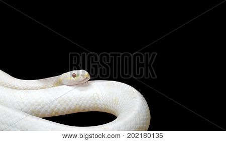 Albino Black Rat Snake Coiled Isolated on Black Background Clipping Path