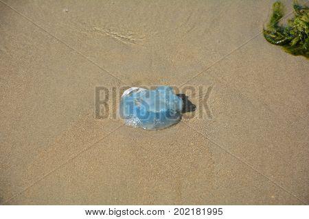A blue Jellyfish on the sandy beach