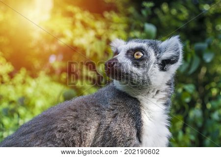 Monkey dreaming about future. Animals life concept. Lemur in wildlife