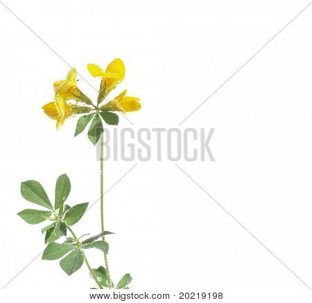 beautiful yellow flower and green leaves against white background. useful design element.