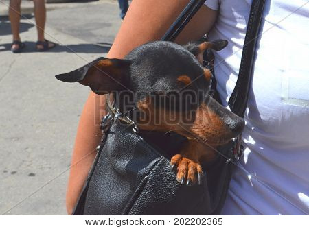 German miniature dwarf pinscher pet dog sitting hidden in a handbag of its owner on a busy city street