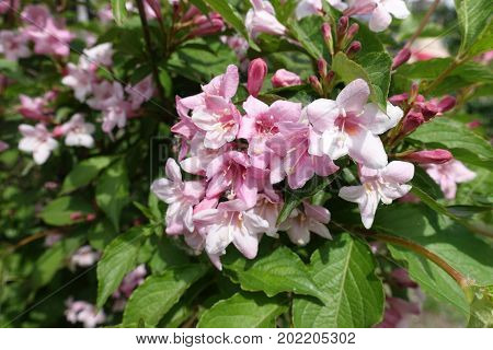 Close Up Of Corymb Of Pink Flowers Of Weigela