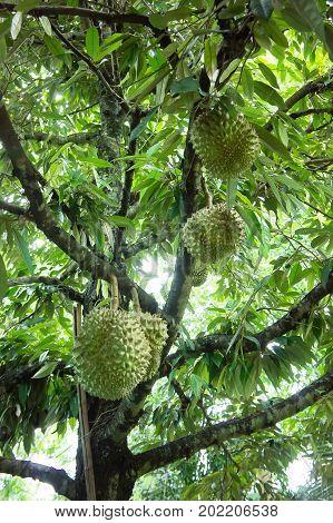 Durian tree in the farm fruit , Durian fruit organic