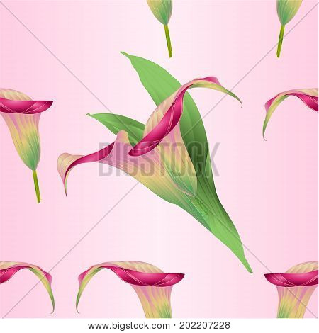 Seamless texture calla lily Pink flower herbaceous perennial ornamental plants vintage vector illustration editable hand draw