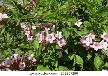 Pink Flowers Among Green Leaves Of Weigela