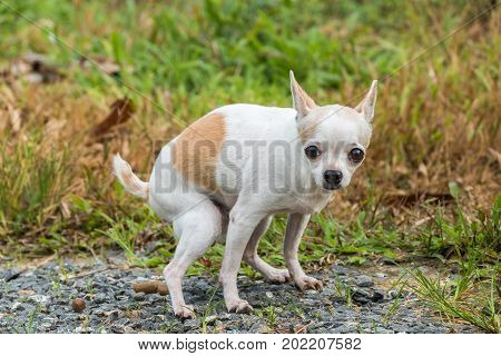 Small white short hair female chihuahua dog pooping in park