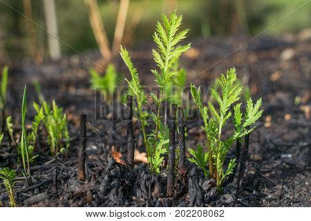 New plants afeter fire disaster. Rise of life.