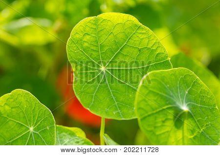 Nasturtium Flower Leaf In Close Up.