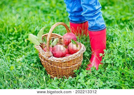 Close-up of legs of kid in yellow rain boots and red apples on organic farm, autumn outdoors. child having fun with helping and harvesting