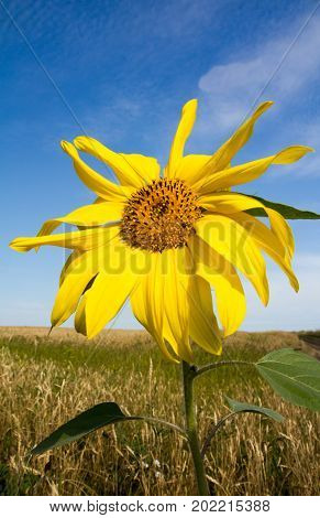 Single sunflower stalk in a wheat field against a blue sky background