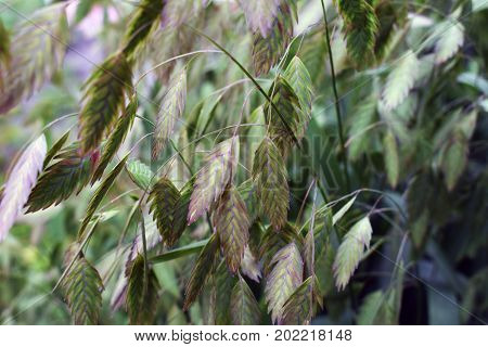 green grass with spikelets on a summer meadow