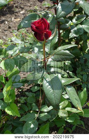 Wine Red Flower Of Common Garden Rose