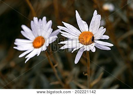 Chamomile Close-up With Drops Of Water On Petals And Sitting Black Beetle