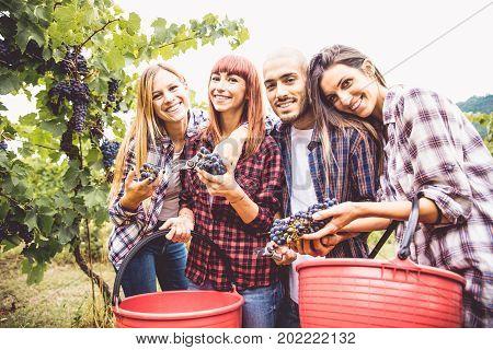 Farmers in huge vineyard at harvest time