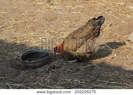 Hen drinks water in country yard - agricultural farm, close up