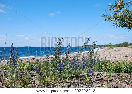 Blossom blueweed by the coast at the swedish island Oland