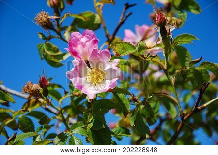 Pink wild rose on a branch by a blue sky
