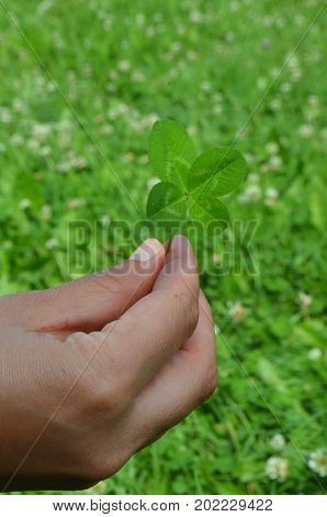 Shamrock - four-lobed clover leaf in a human hand against green background - symbol of good luck and Ireland