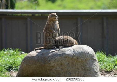 A prairie dog in the outdoors during summer