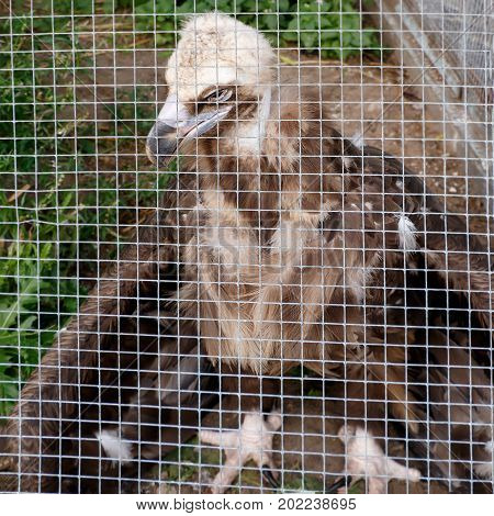 the young vulture (Gyps fulvus) in a cage at the zoo. Square compositin