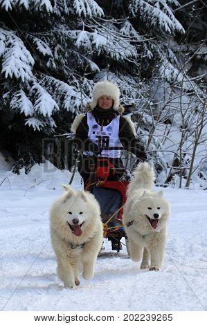 KRALIKY, SLOVAKIA - FEBRUARY 20, 2016: Musher hiding behind sleigh at sled dog race. Winter championship in Kraliky ski center, Slovakia. Extreme sport