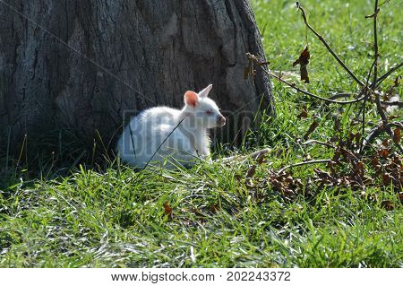 A albino wallaby laying in the grass