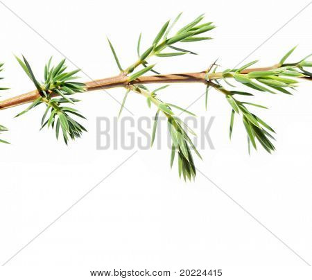 branch of a fir tree against white background poster