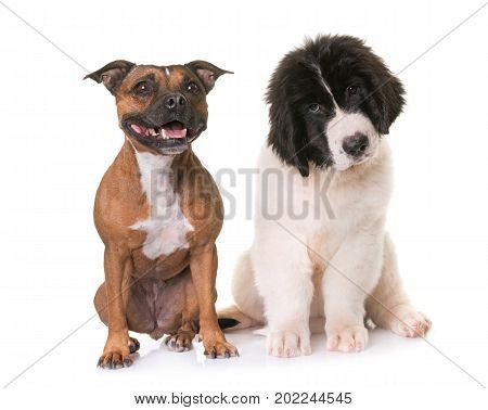 puppy landseer and staffie in front of white background