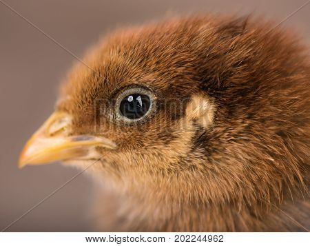Baby chicken in poultry farm. Cute little newborn brown chick - close up portrait. Newly hatched bird on a chicken farm.