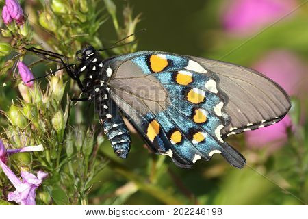 Pipevine Swallowtail (Battus philenor) Butterfly on a flower