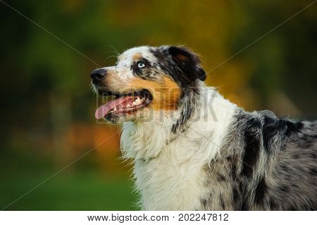Australian Shepherd dog portrait outdoors with mouth open and blue eyes