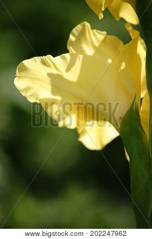 The close-up of a iris flower in the backlight with light-flooded petals.
