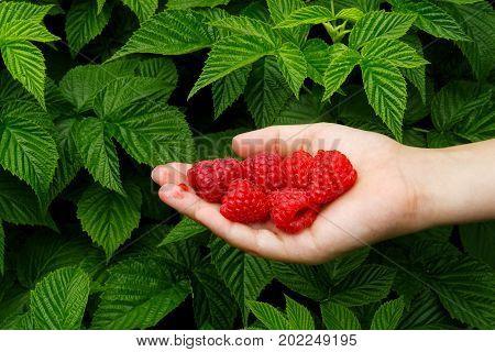 Boy's Hand Holding Freshly Picked Raspberries. Raspberry Bush In Background.
