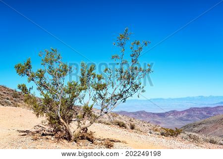 Rugged tree fighting for life in Death Valley National Park in California