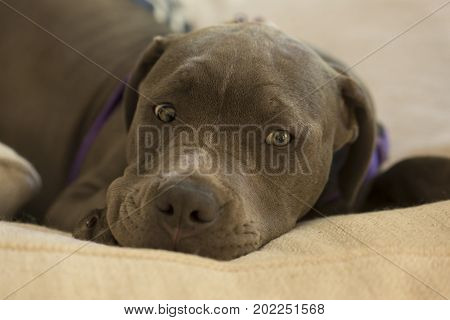 A Blue Nose Pit Bull puppy laying down and staring