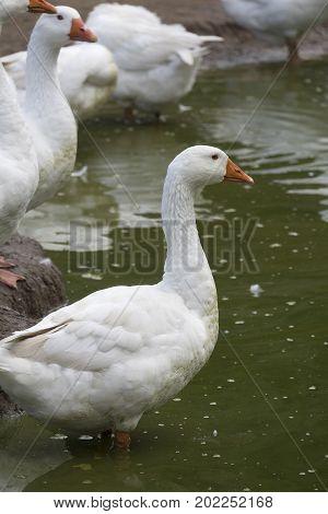 white geese - Anser anser domesticus in the garden