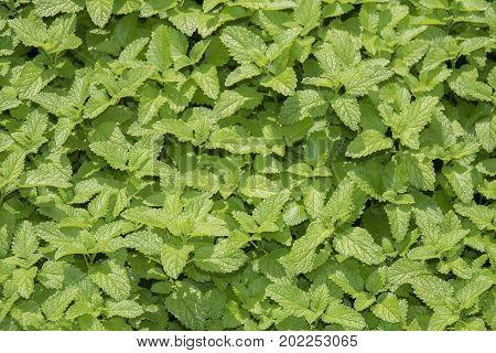 balm herb - melisa officinalis in the garden