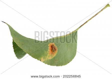 The underside of a pear leaf showing fungal infection. The spots are as a result of the gymnosprangium sabinae fungus. On eruption the spots release fungal spores to continue the spread of the fungus.