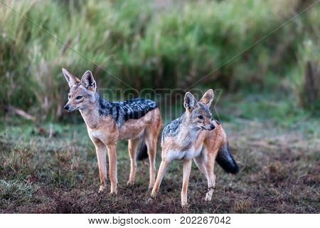 Two jackals in Masai Mara national park Kenya