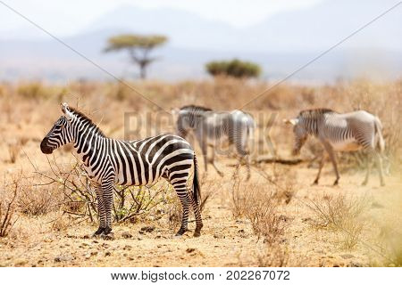 Plains and Grevys zebras in Samburu national reserve in Kenya