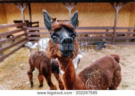 brown alpaca in the farm