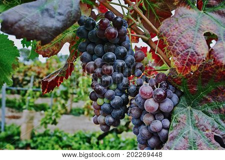 Autumn Colors - Red Wine Grapes On Sandy Vineyards, Camargue, Provence